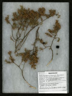 Webworm on Juniperus communis 'Haverbeck' (Haverbeck common juniper)