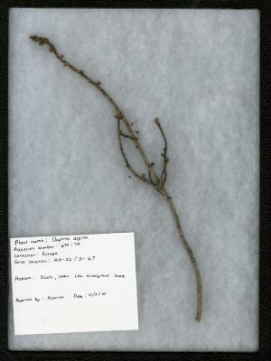 Scale on Daphne alpina L. (alpine daphne)