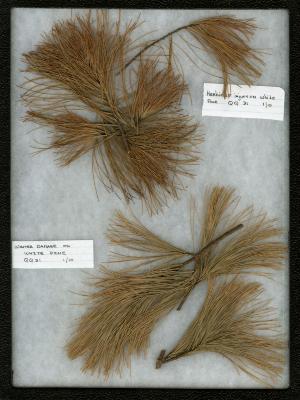 Winter/salt damage (Abiotic) on Pinus strobus L. (eastern white pine)