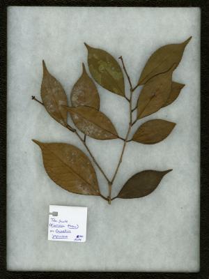 Tea Scale (Fiorinia theae) on Camellia japonica (Japanese camellia)