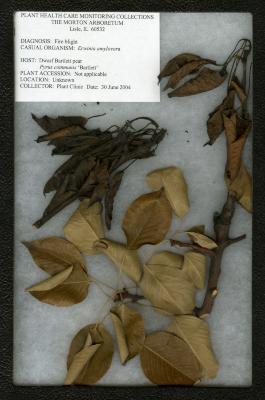 Fire blight (Erwinia amylovora) on Pyrus communis 'Bartlett' (Dwarf Bartlett Pear)