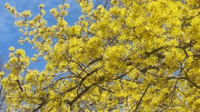 Cornus mas L. (Cornelian-cherry dogwood), flowers