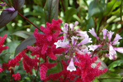 Combination of Perennial Pinks