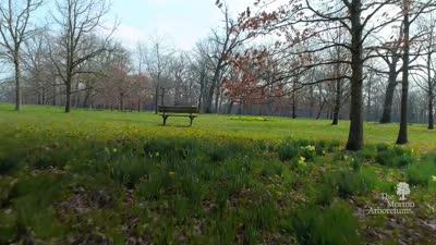 Virtual Walk of Daffodil Glade