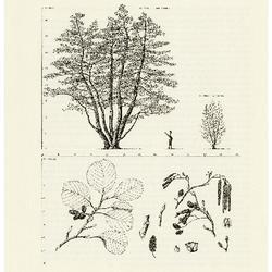 European Alder, Black Alder. Alnus glutinosa: Birch Family (Betulaceae)