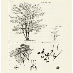 Pagoda Dogwood, Alternate-leaved Dogwood.  Cornus alternifolia: Dogwood Family (Cornaceae)