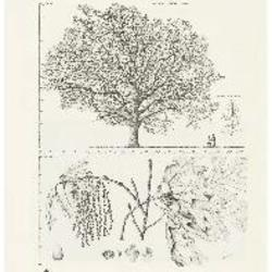The oak : a popular introduction to forest-botany