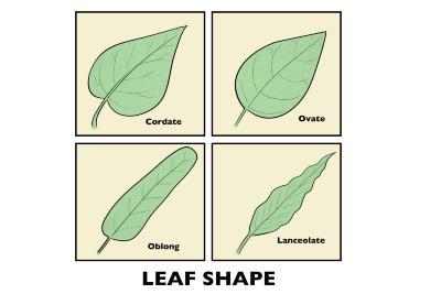 Leaf Shapes Illustration