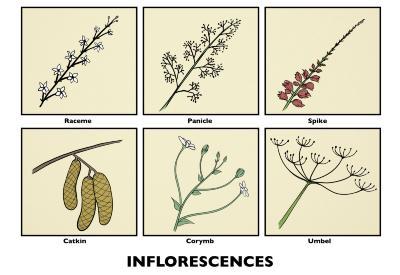 Inflorescences Illustration