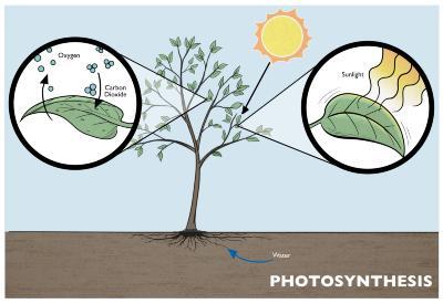 Photosynthesis Illustration