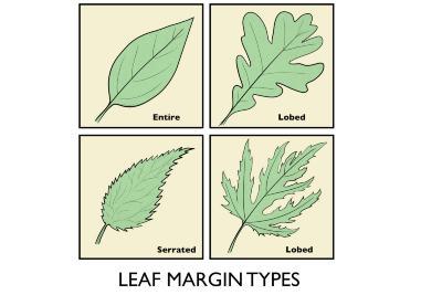 Leaf Margin Types Illustration