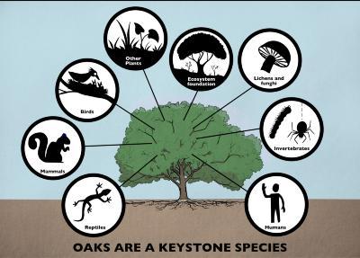 Oaks are a Keystone Species Illustration