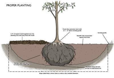 Proper Planting Illustration
