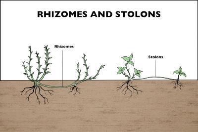 Rhizomes and Stolons Illustration