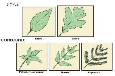 Simple and Compound Leaves Illustration