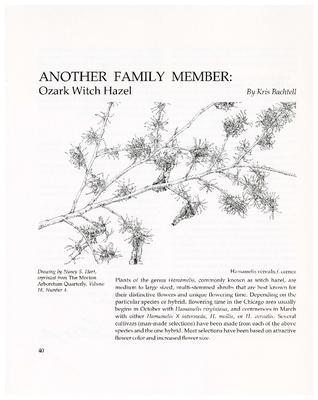 Another Family Member: Ozark Witch Hazel