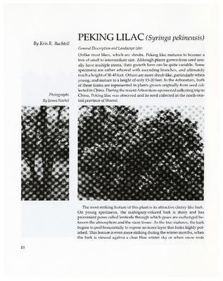 Peking Lilac (Syringa pekinensis)