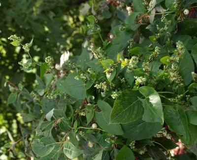 Fagopyrum esculentum (Buckwheat), inflorescence, leaf, fall