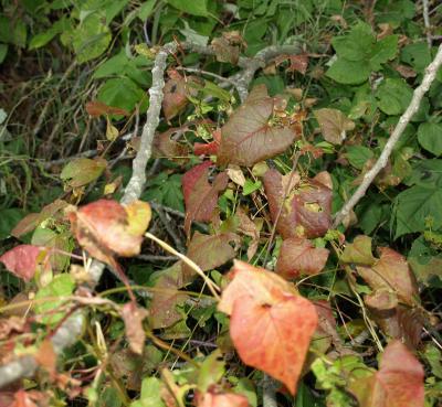 Fagopyrum esculentum (Buckwheat), leaf, fall
