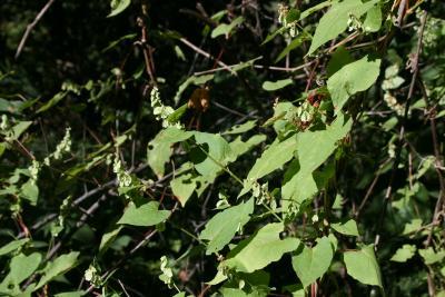 Fagopyrum esculentum (Buckwheat), habit, summer