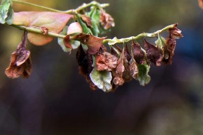 Fagopyrum esculentum (Buckwheat), fruit, mature