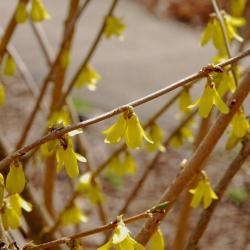 Forsythia 'Northern Gold' (Northern Gold Forsythia), flower, side, bark, twig