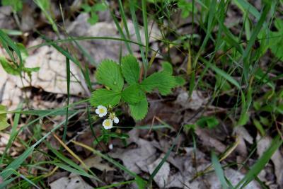 Fragaria virginiana (Wild Strawberry), habit, summer