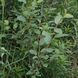 Frangula alnus (Glossy Buckthorn), habit, summer