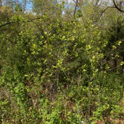 Frangula alnus (Glossy Buckthorn), habit, spring