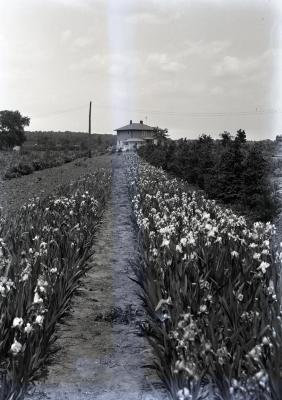 Teuscher residence in distance with row of irises in foreground next to nursery and propagation beds