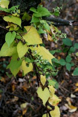 Fagopyrum esculentum (Buckwheat), habit, fall