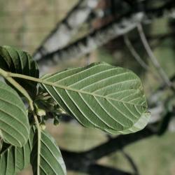 Frangula purshiana subsp. purshiana (Cascara Buckthorn), leaf, lower surface