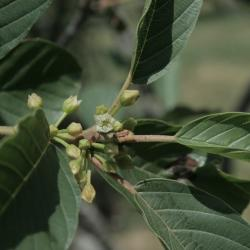 Frangula purshiana subsp. purshiana (Cascara Buckthorn), flower, throat