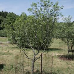 Frangula purshiana subsp. purshiana (Cascara Buckthorn), habit, summer