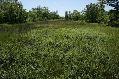 Frangula alnus (Glossy Buckthorn), habitat