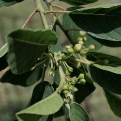 Frangula purshiana subsp. purshiana (Cascara Buckthorn), flower, full