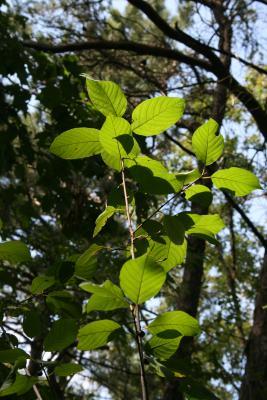 Frangula alnus (Glossy Buckthorn), leaf, summer