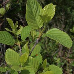 Frangula alnus (Glossy Buckthorn), leaf, spring