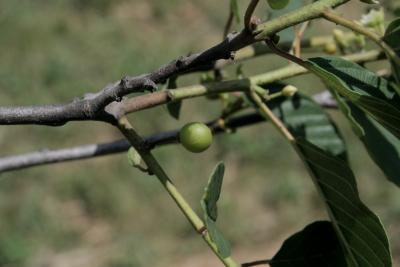 Frangula purshiana subsp. purshiana (Cascara Buckthorn), fruit, immature