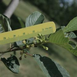 Frangula purshiana subsp. purshiana (Cascara Buckthorn), inflorescence