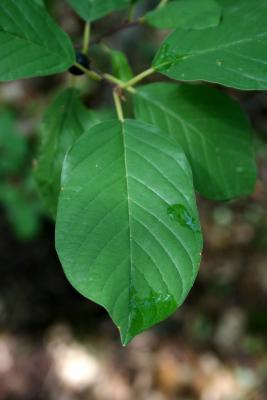 Frangula alnus (Glossy Buckthorn), leaf, upper surface