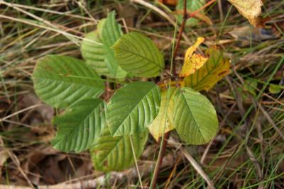 Frangula alnus (Glossy Buckthorn), leaf, fall
