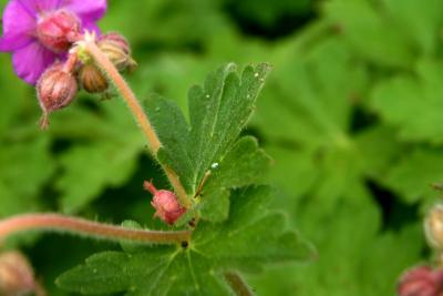 Geranium macrorrhizum 'Bevan's Variety' (Bevan's Variety Big-rooted Geranium), leaf, spring