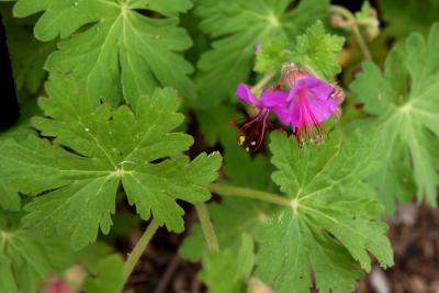 Geranium macrorrhizum 'Bevan's Variety' (Bevan's Variety Big-rooted Geranium), flower, full