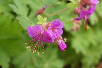 Geranium macrorrhizum 'Bevan's Variety' (Bevan's Variety Big-rooted Geranium), flower, side