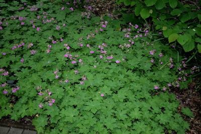 Geranium macrorrhizum 'Bevan's Variety' (Bevan's Big-rooted Geranium), habit, summer