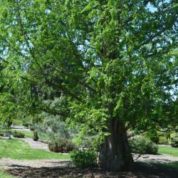 Dawn-redwood (Metasequoia glyptostroboides)