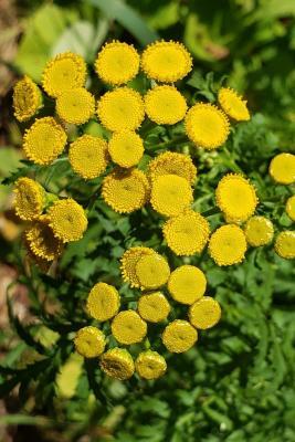 Tanacetum vulgare (Tansy), inflorescence