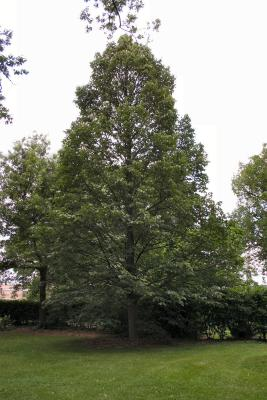 Tilia americana var. heterophylla 'Continental Appeal' (PP 3770) (Continental Appeal Basswood PP3770), habit, summer