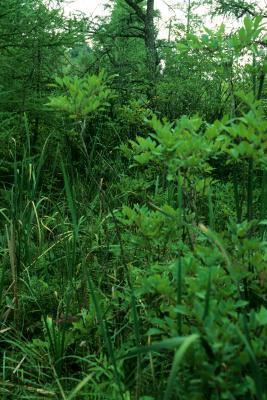 Toxicodendron vernix (Poison-sumac), habitat, habit, fall